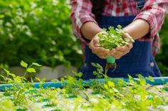 Cuidado fitosanitarios de plantas y verduras
